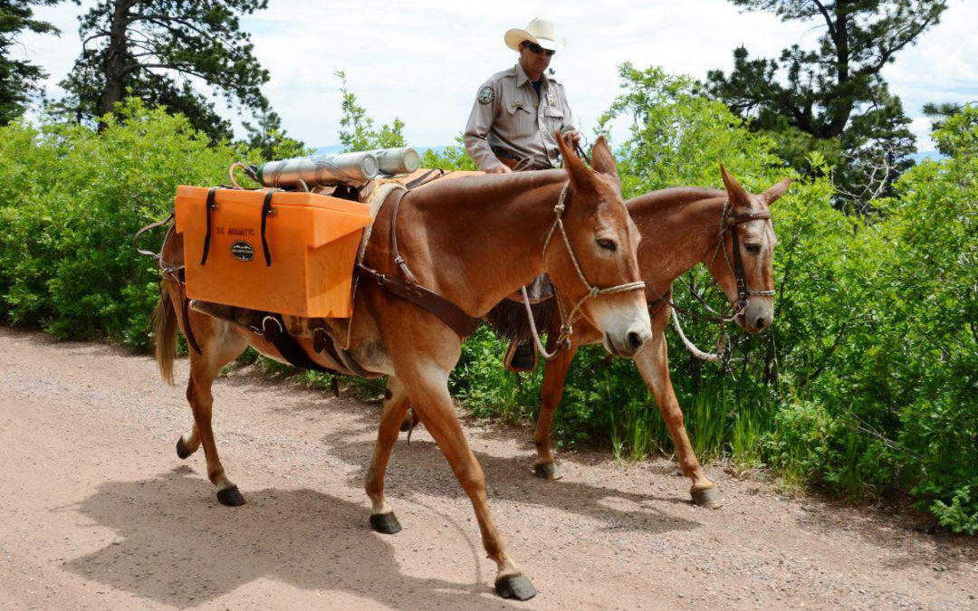 Mules carry Hayden Creek Cutthroats to new home