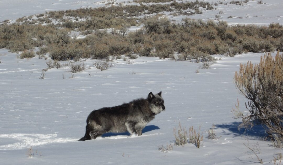 Undecided On Wolves? Hear From A Wyoming Wolf Expert Who Has Seen Them At Their Best, And Worst