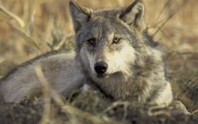 Wolves Poised To Make A Comeback In Colorado After Passage Of Prop 114